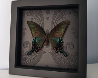 Real Taxidermy Papilio Bianor - Gothic