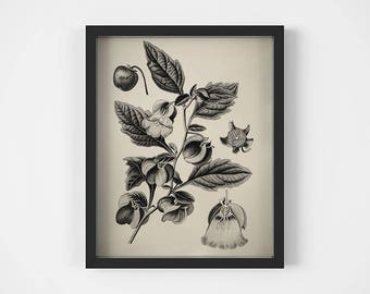Flower print, Black and white, Flower art, Antique print botanical, Printable art, Vintage art, Wall art flower, Instant download, Nicandra