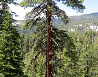 20  Pinus ponderosa Seeds, bull pine, blackjack pine, or western yellow-pine,