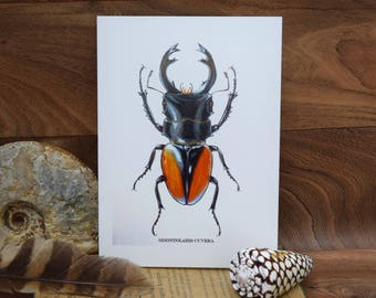 Odontolabis Cuvera staghorn Beetle Insect, Beetle,  Coleoptera, natural history blank greeting card By Tabitha McBain