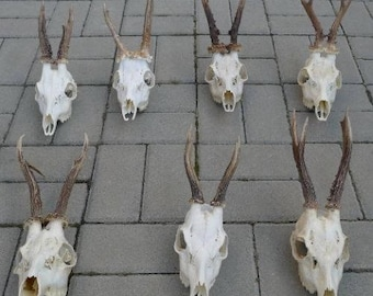 Set of 7 quality roe deer complete skulls antlers taxidermy collectible anatomy