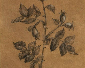 A branch of rose hips with fruits. Pencil original drawing