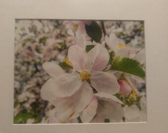 Large Cherry Blossom