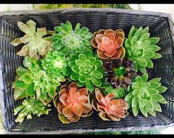 Assorted Succulents | 20 x Echeveria (Succulents) Assorted 9cm