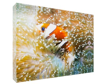 Great Barrier Reef Anemonefish in Sea Anemone 30x20x4cm Acrylic Photography Print