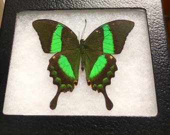 Framed Papilio Palinurus Butterfly