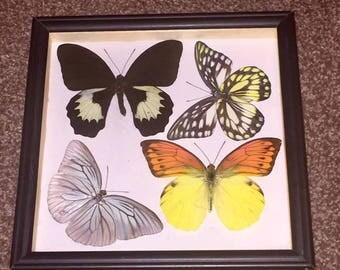 Taxidermy four framed butterflies