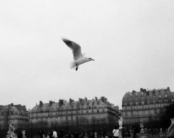 Paris, Seagull flying over the Jardin des tuileries, the louvre. Haussman buildings in the back ground. Fine art 35mm print