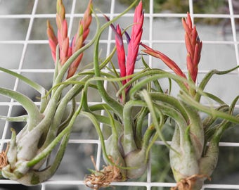 Terrarium Air Plant Tillandsia Caput Medusae, Air Plant Jellyfish, Desk Plant Terrarium Plants, Air Plant Terrarium, Succulents, Airplant
