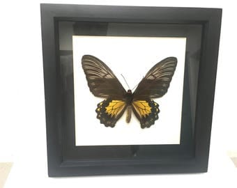 Superb Ornithoptera Troides Amphrysus Ruficollis Butterfly/Taxidermy/Insect