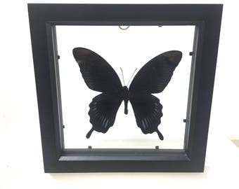 Papilio Deiphobus Butterfly/Insect/Taxidermy/Lepidoptera.