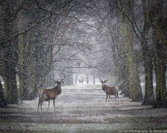 Wildlife Photography, Wildlife prints, Nature Prints, Nature Photography, Nature prints, Wall Art, Wall Decal, Stag, Deer, Winter, Snow