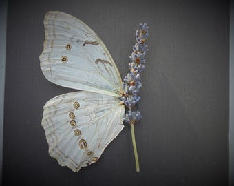 White Morpho Taxidermy Butterfly