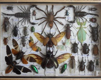 REAL Multiple INSECTS BEETLES Scorpion Spider Collection in wooden box/big size/is07B