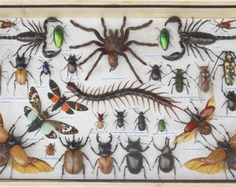 REAL MULTIPLE INSECTS Beetles Scorpion Cicada Collection In Wooden  Box