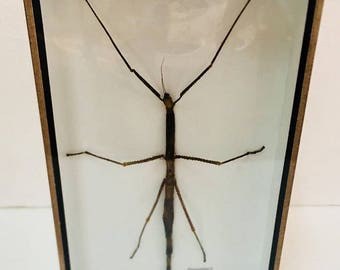 Real Walking Stick Insects Taxidermy Collection