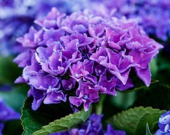 Violet Hydrangeas