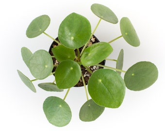 LIVE PLANT: Pilea peperomioides - Chinese Money Plant