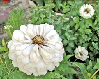 Zinnia Seeds, flower seeds, white flower seeds, white zinnia seeds, NON GMO