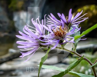 Spring Flowers by a Quiet Stream | Nature Photo Art | Gift | Fine Art Photography | Personalization | BDPhotoShoppe | Home Office Decor