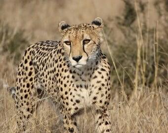Cheetah in the African bush