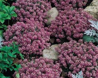Alyssum-Rosie O'day- 200 Seeds