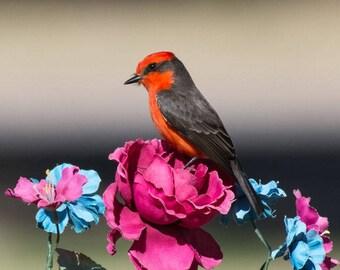 Vermilion Flycatcher Print, Vermilion Flycatcher Photography, Bird Photography, Nature Photography, Desert Photography, Nature Print,