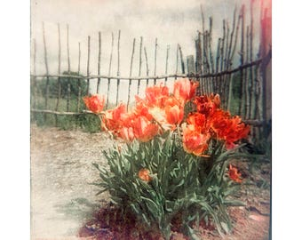 Red Tulip Print,  Flower Photography, Rural Scene,  Lomography, Holga Print, Farmhouse Decor, Rustic Decor