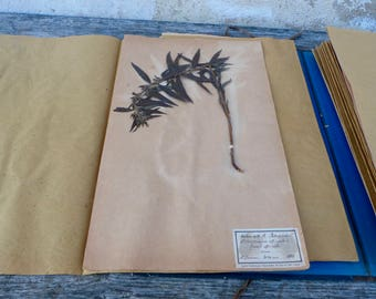 Antique-1887-1889-French-herbarium Lithospermum officials L