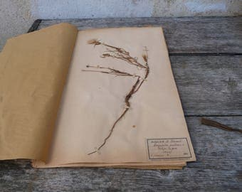 Antique-1887-1889-French-herbarium Salsifis du pres