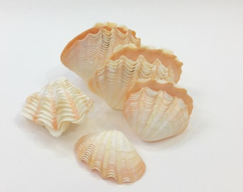Seashells - Squamosa Clam Shell  - beach decor/coastal decor/nautical/sea shells