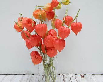 Dried Chinese Lantern seed pods and stems. Halloween . Physalis alkekengi plants, for crafts  and arrangements LOT L