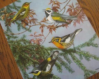 Orig 1930s  9+ x 12 Bird Bookplate Illustration  Warblers Trees  Birds Luscious Matte Color Paper MORE for Pair Trio Grouping Print Prints