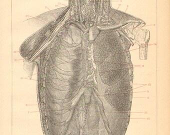 1895 Chest Organs, Thoracic Cavity Original Antique Engraving