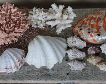 Collection of Exotic Beach Shells, Sea Shells, Flat Sea Sponge, Decorative Beach Shells