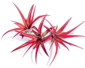 Air Plant Abdita red multiflora mix of 3 tillandsia