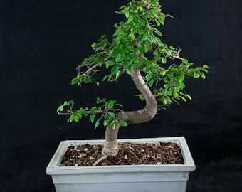 il_340x270.1230955468_qct6 Pachira Aquatica House Plants Bonsai on dwarf jade bonsai, crassula tetragona bonsai, black locust bonsai, mimosa pudica bonsai, podocarpus macrophyllus bonsai, acacia bonsai, banana bonsai, scots pine bonsai, aquatic plants bonsai, money plant bonsai, olea europaea bonsai, japanese juniper bonsai, bodhi tree bonsai, cedar bonsai, portulacaria afra bonsai, dwarf pomegranate bonsai, adenium bonsai, fukien tea bonsai, crassula ovata bonsai, weeping fig bonsai,