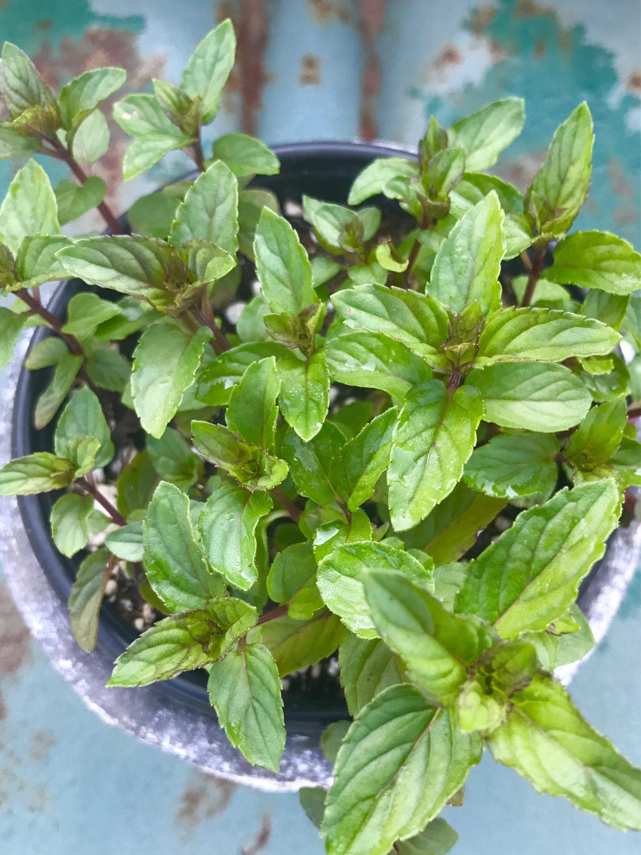 Chocolate Mint Plant, Live Plant, Herb Garden Favorite- Great for ...