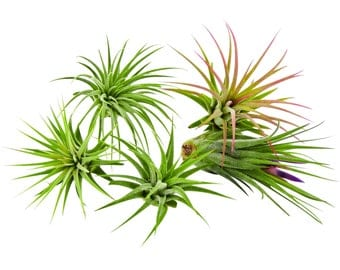 Bliss Gardens 5 Pack Ionantha Tillandsia Air Plants Assorted / FREE SHIPPING