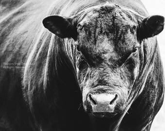 Big Black Angus Bull In Black And White -Canvas Gallery Wrap -Cow Wall Art -Farm & Ranch Art -Veterinarian Wall Decor -Fine Art Photograph