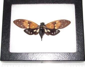 real framed cicada Ambragaeana ambra
