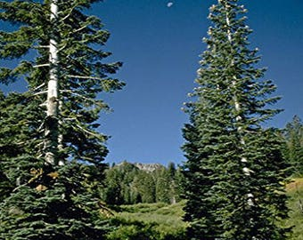 100 White Fir Tree Seeds, Abies Concolor - Lowiana