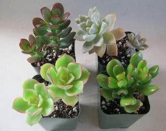 6 Succulent Plants Live Potted Collection