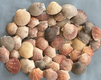 50 Scallop Shells Bulk Seashells Craft A316