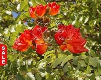 African Tulip Tree 20 Seeds Deep Red Blooms Container -Indoor /Outdoor Gardening Attracts Butterflies Hummingbirds Spathodea campanulata