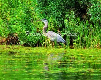 Great blue heron - Digital download photo