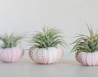 Jellyfish Air Plant, Dorm Decor, Shell Planter, Sea Urchin Air Plant, Desk Accessories, Gifts Under 20, Housewarming Gift, Hanging Air Plant