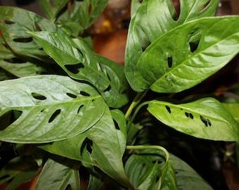 "Monstera Adansonii ""Swiss Cheese"" Plant- Hard to Find Beautiful houseplant, 3 well established plants in 4x5 deep pot"