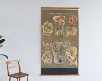 Vintage Large Genito Urinary Anatomical Poster Chart