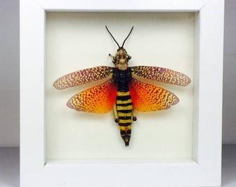 Giant Grasshopper Phymateus Aegrotus Wooden Frame Entomology Insect Art